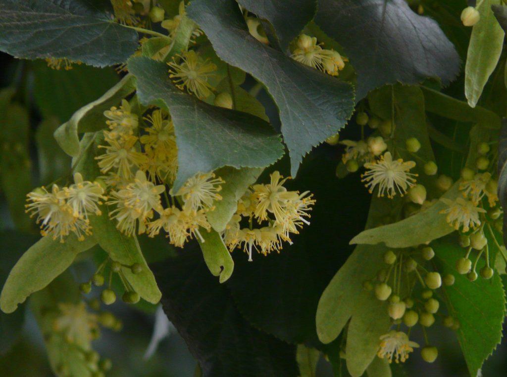 Linden tree flowers.
