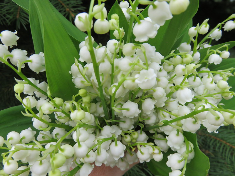 Growing Lily-of-the-valley in Winter
