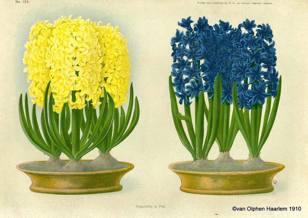 Growing Hyacinths in Winter