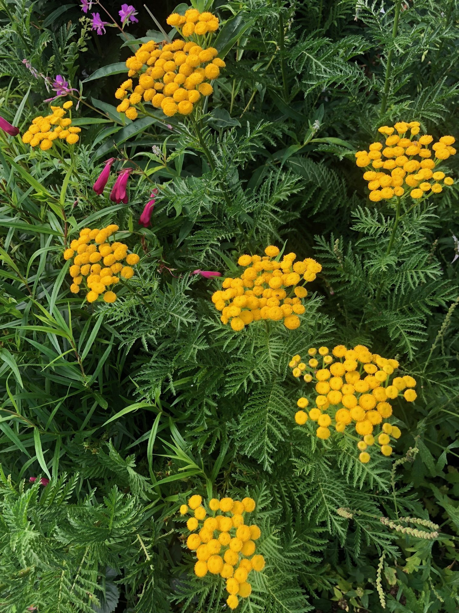 Tansy: What is it Used for?