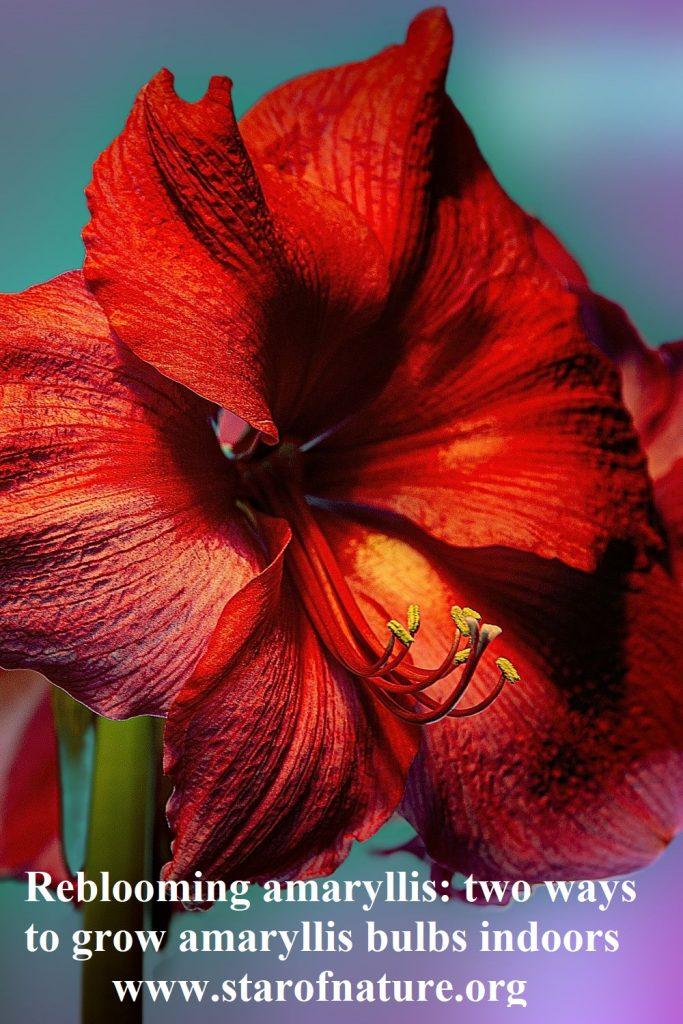 Reblooming amaryllis - pinable image.