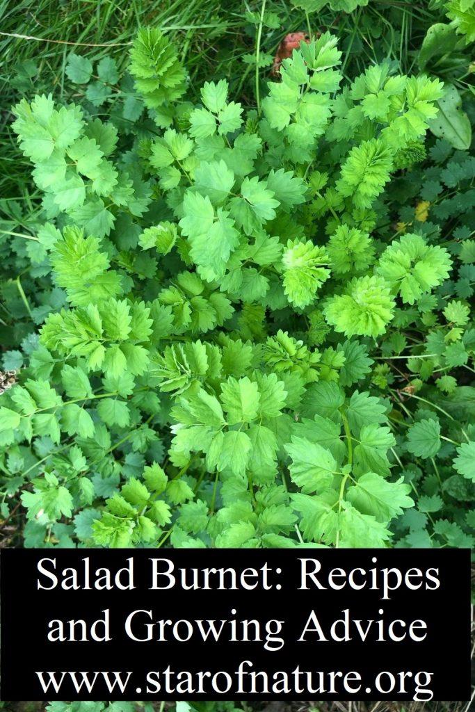 Salad burnet.