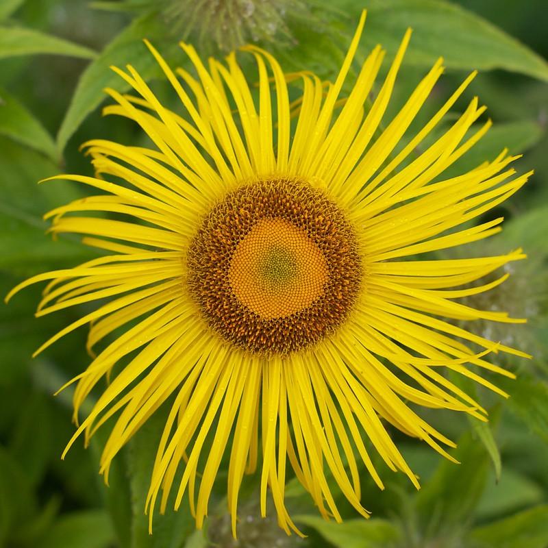 Elecampane (Inula helenium): Ancient 'Sunflower' of Europe