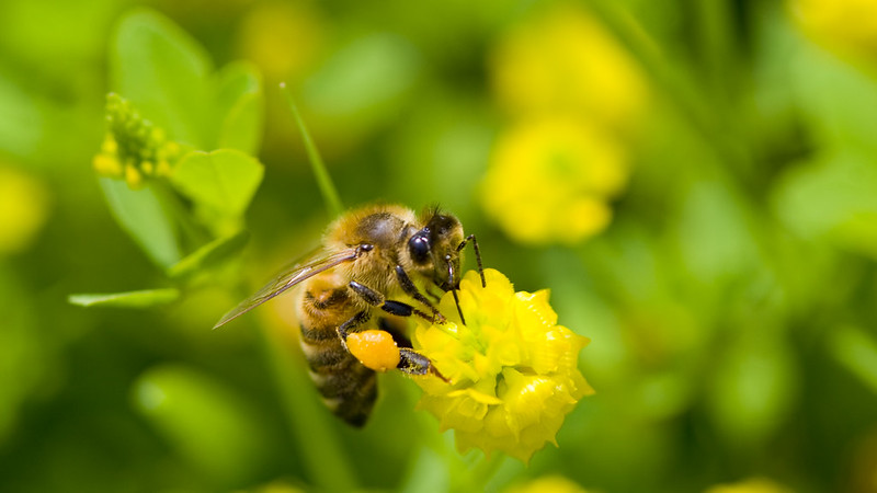 Bee on a flower ('What is Pollen: Basics for a Bee-Lover')