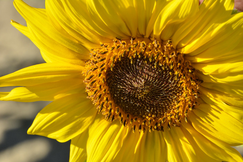 Sunflower ('What is Pollen: Basics for a Bee-Lover').