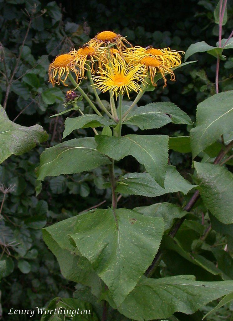 Flowering elecampane (Inula helenium)