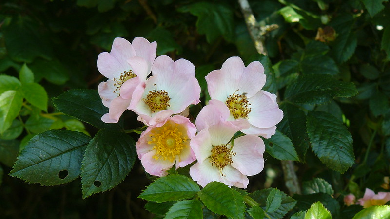 Wild rose at Knepp estate.