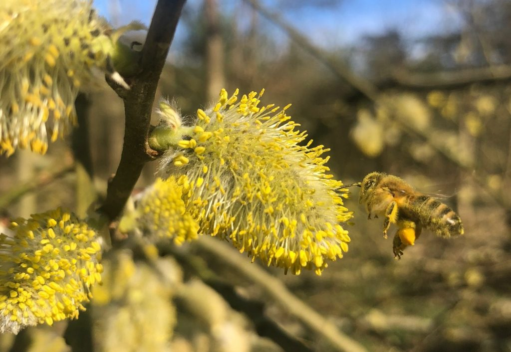 Bee and a pollen-rich pussy willow flower ('What is Pollen: Basics for a Bee-Lover').