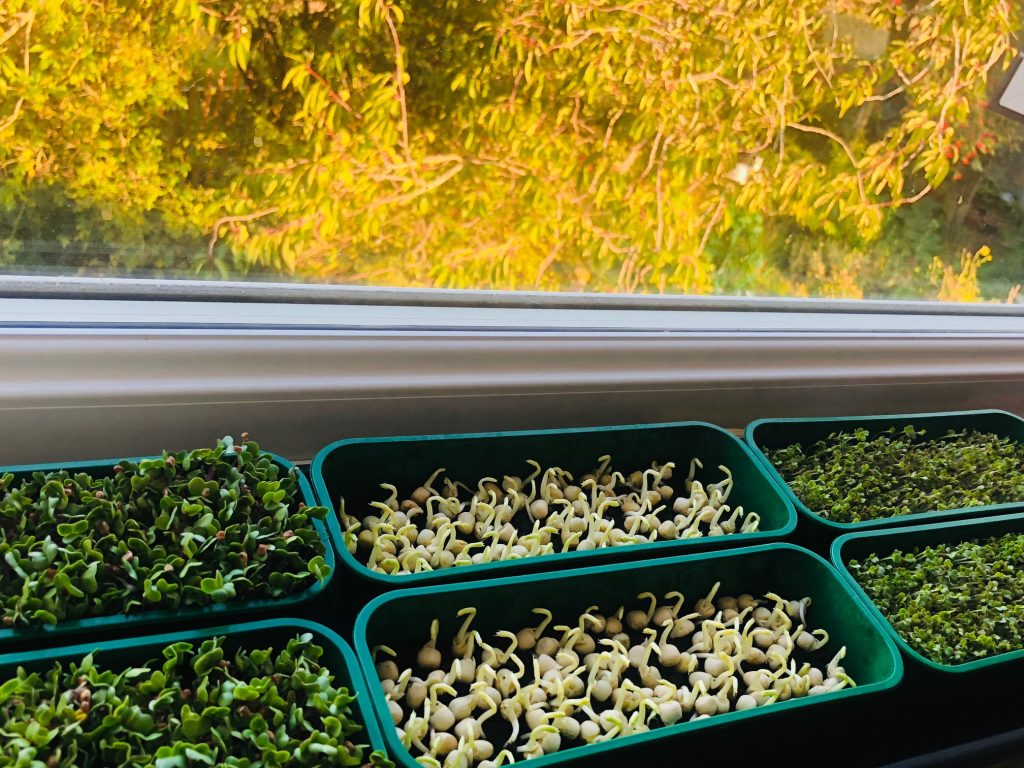 Indoor garden: growing microgreens on a window sill.