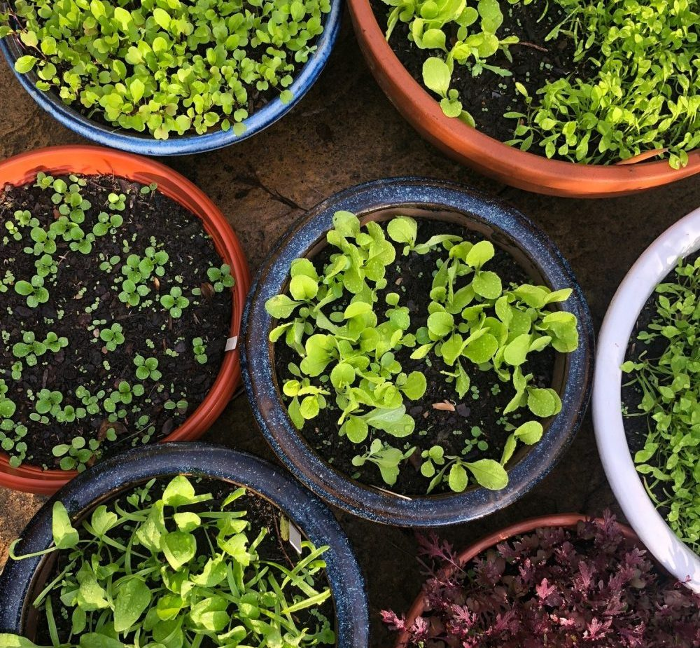 How to Grow Winter Salad Leaves on the Patio