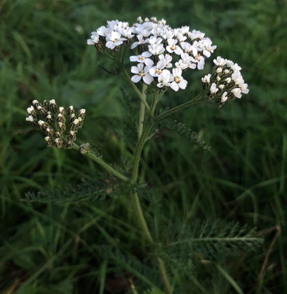 Yarrow (Achillea millefolium).