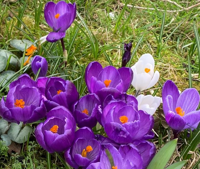 Crocus flowers are an important source of pollen for insects in spring.