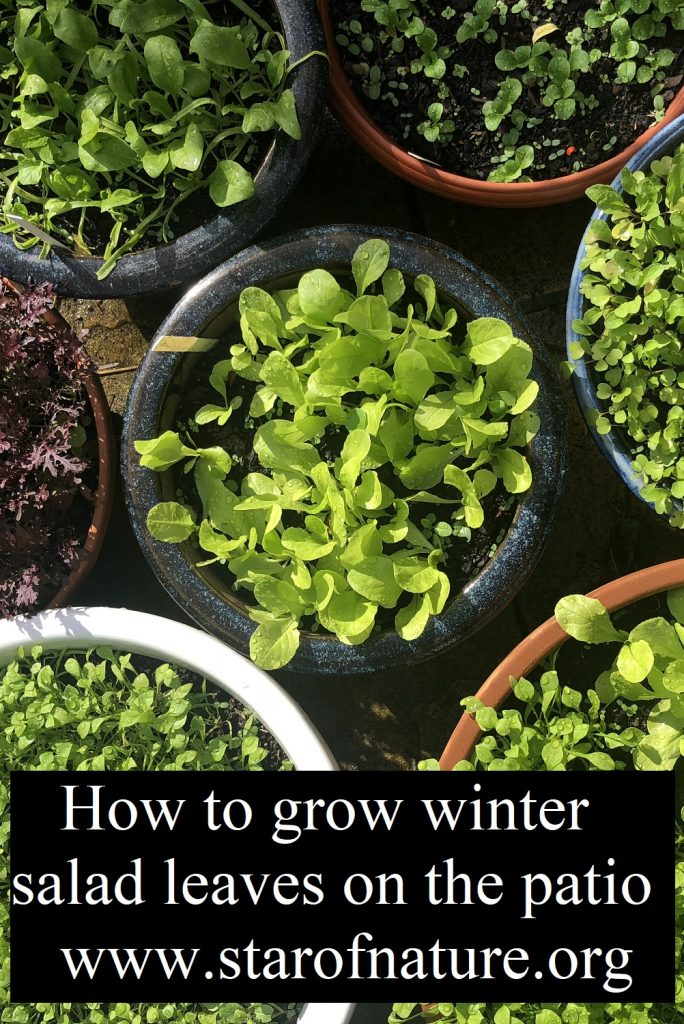Winter salad greens in containers on a patio.