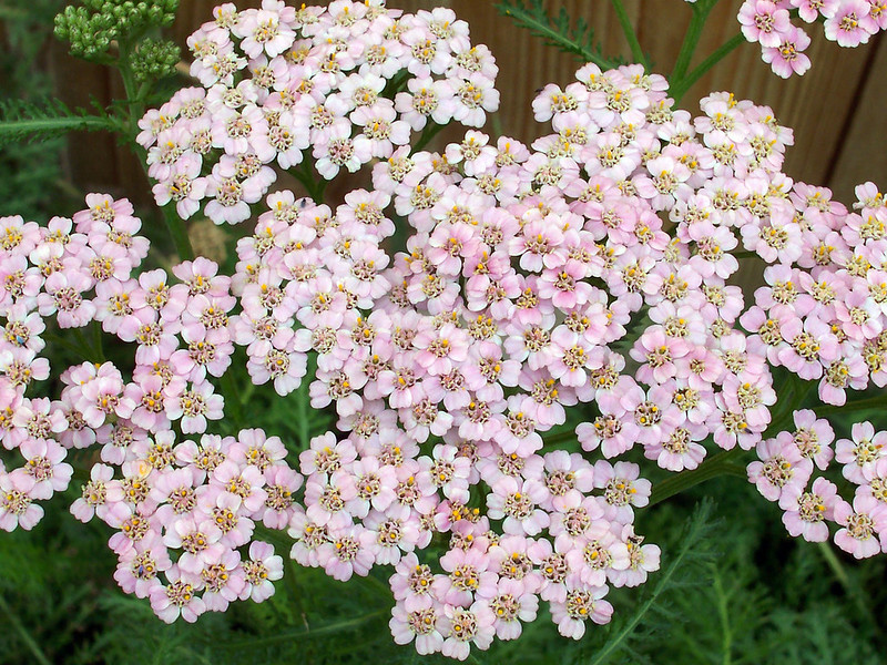 Nettle and Yarrow in Cosmetic Recipes