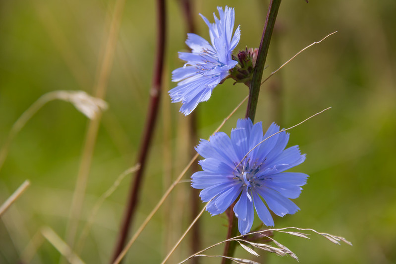 Growing Chicory for Leaves, Flowers and Coffee
