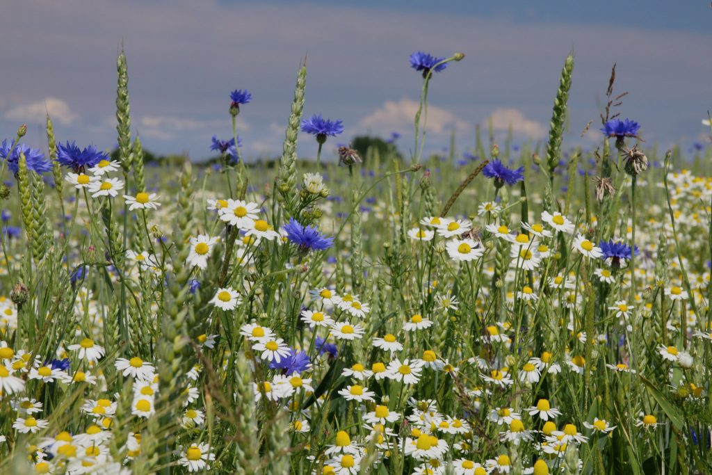 Chamomile growing in a field.