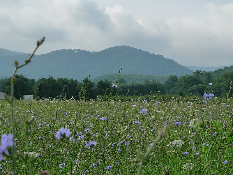 Chicory growing in a meadow.