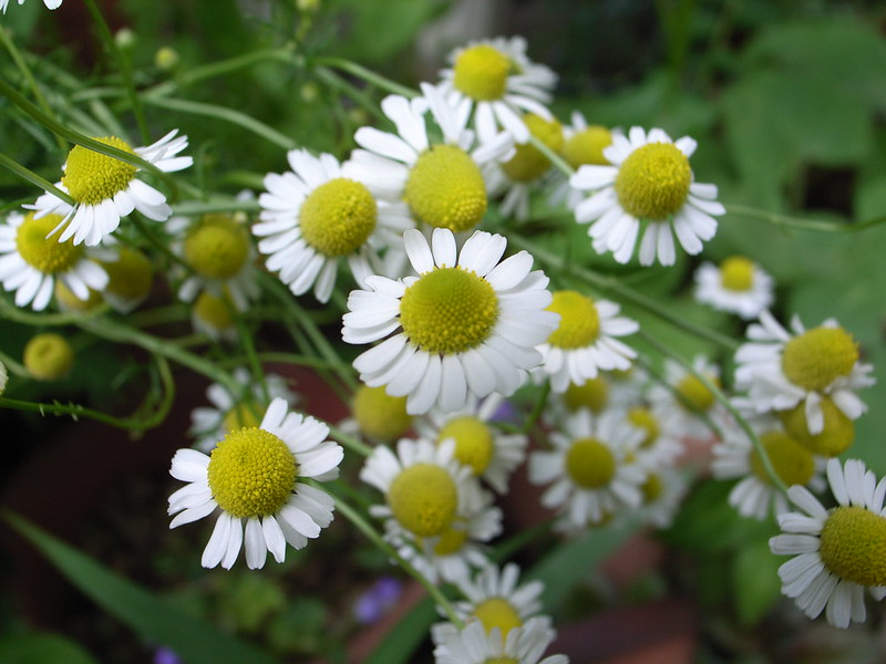 How to Grow and Use Chamomile