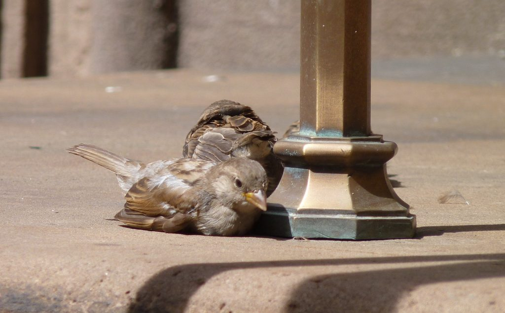 House sparrows.