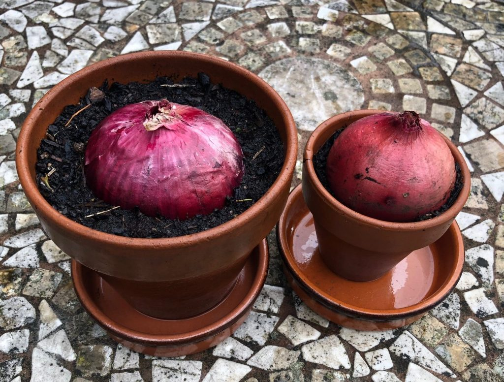 Onion bulbs planted in pots for growing in a windowsill salad garden.
