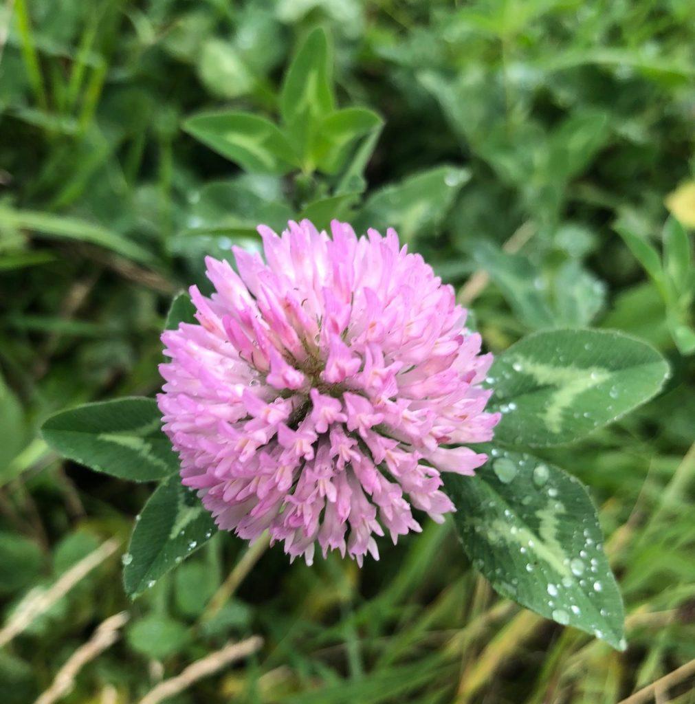 Edible wild greens: clover.