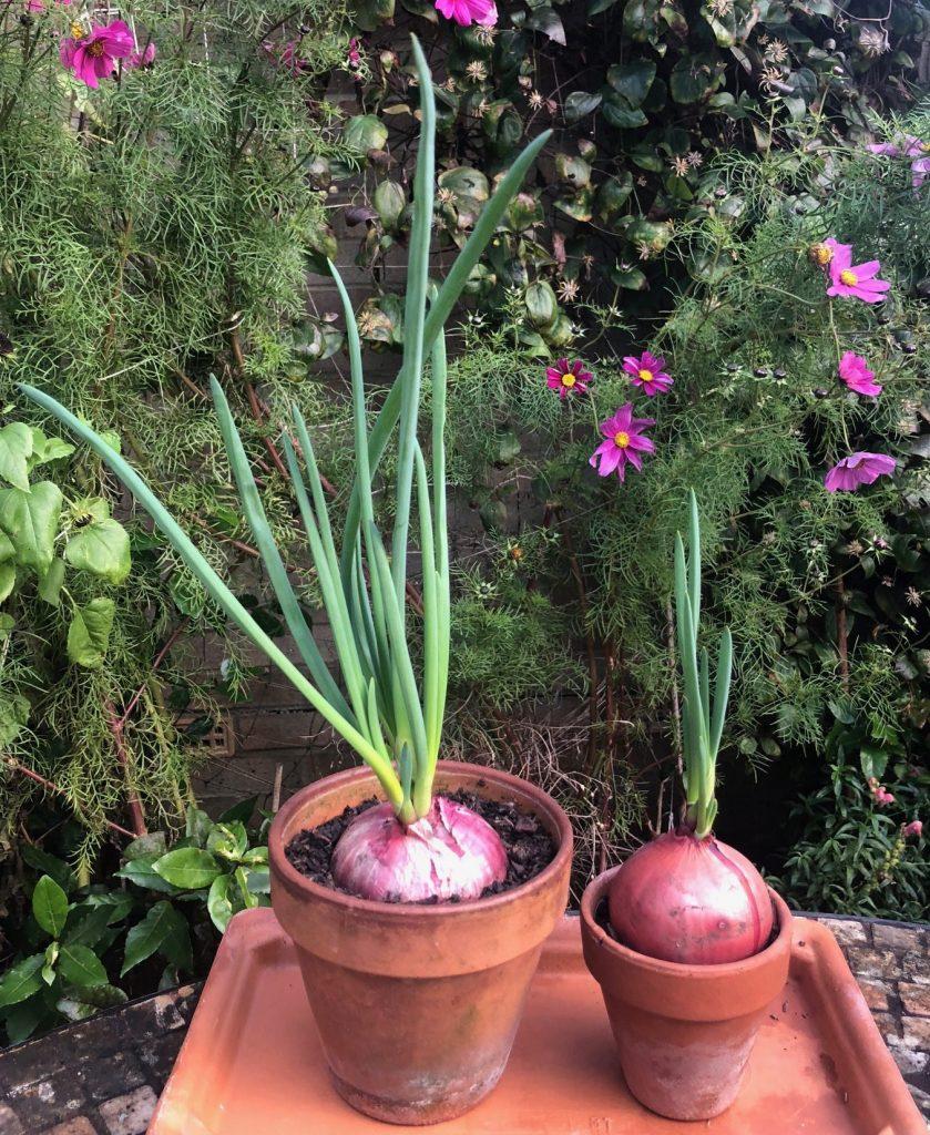 Spring onions grown in a windowsill salad garden.
