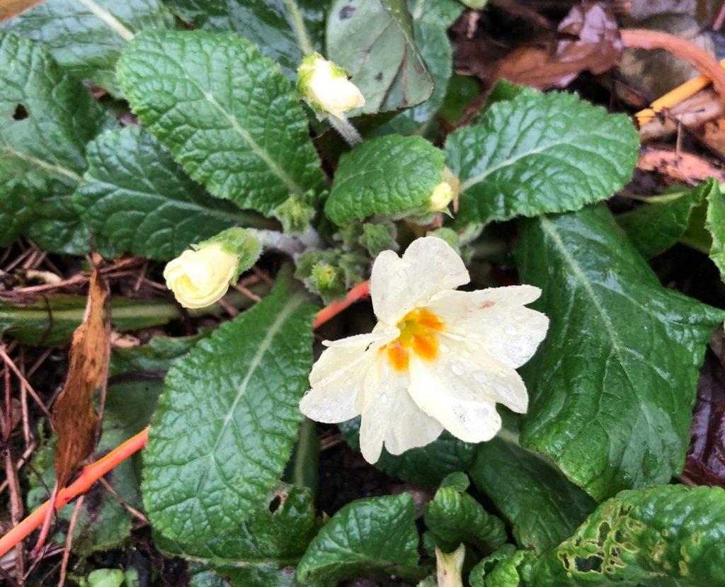 Edible wild greens: primrose.