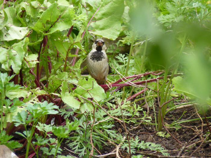Sparrow in the garden.
