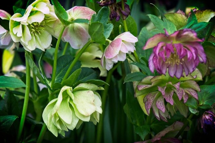 Double hellebore flowers.