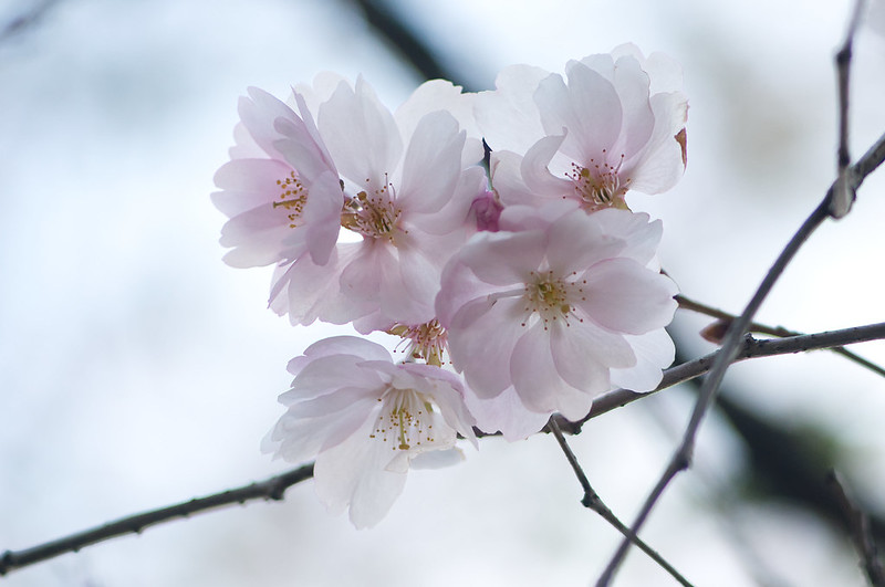 Cherry Branches in Winter