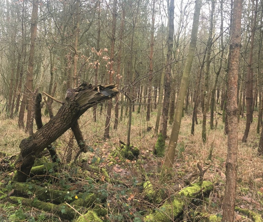 Strange shapes of fallen trees in the wood in autumn that may have inspired the Wild Hunt mythology.