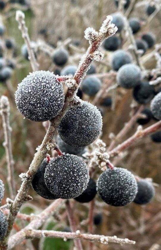 Frost covered sloe berries at midwinter.