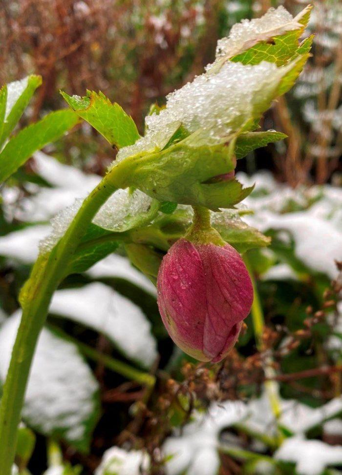Hellebore flower under snow.