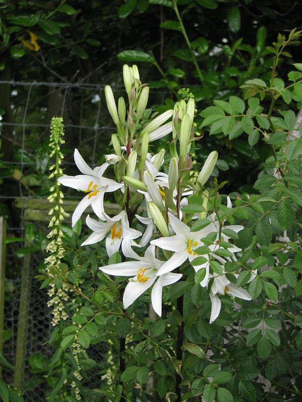 Madonna lily - Natural Anti-Aging Cosmetics.