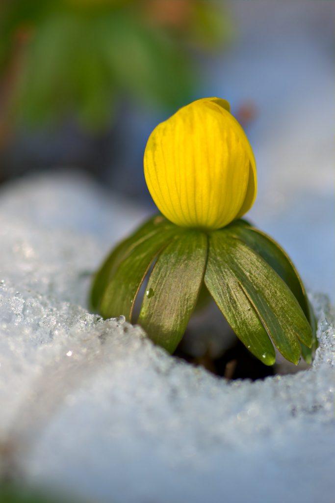 Winter aconite in snow.