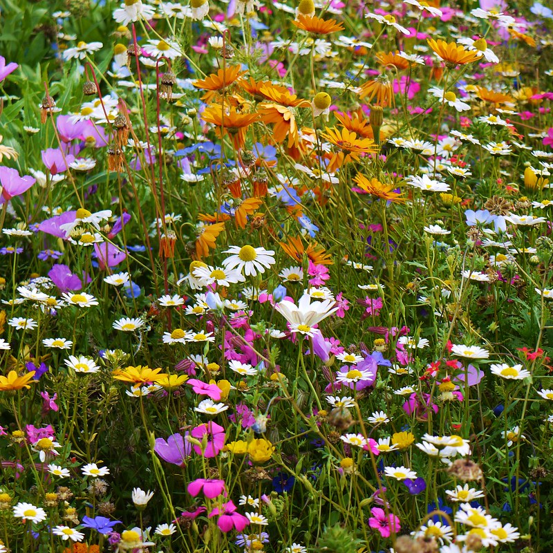 Annual wild flower meadow.
