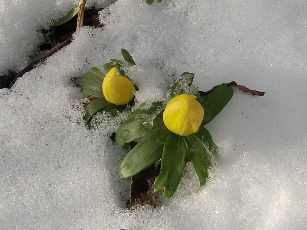 Winter aconites growing through the snow.