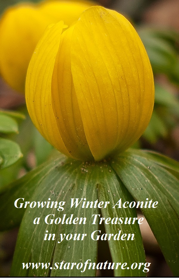 Growing winter aconite - image for Pinterest