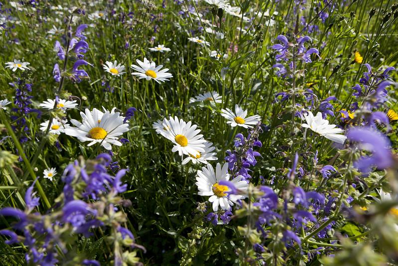 Perennial wild flower meadow.