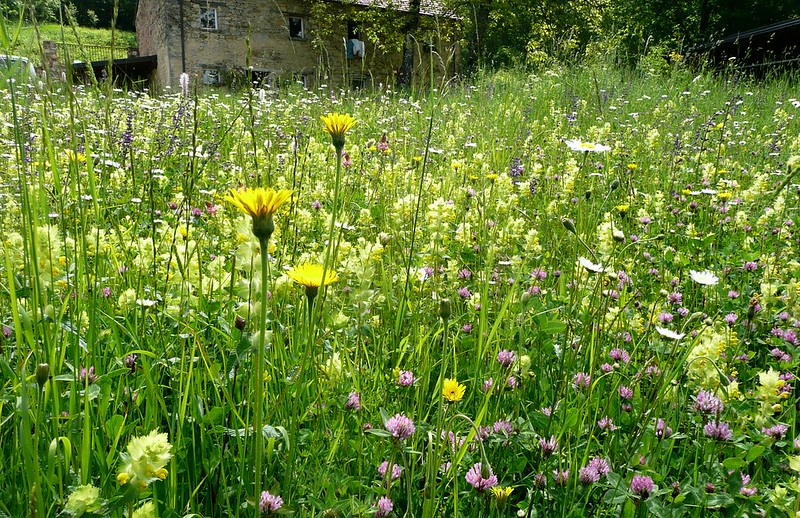 Yellow rattle groing in a wild flower meadow.