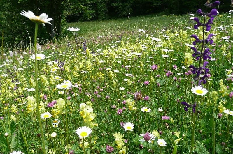 Wild flower meadow.