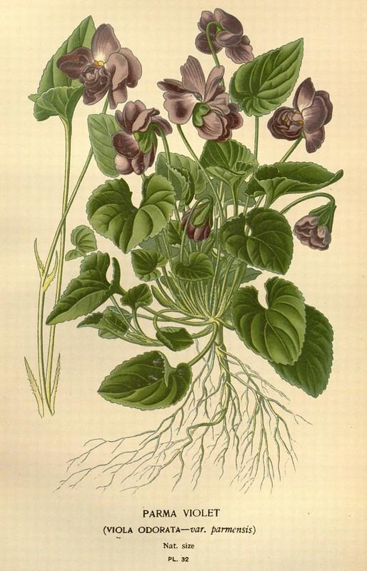 Parma violet.