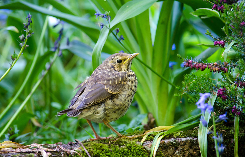 Young thrush. Attracting birds in the garden is an essential part of small scale rewilding projects.