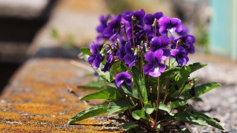 Sweet violet growing on roadside.