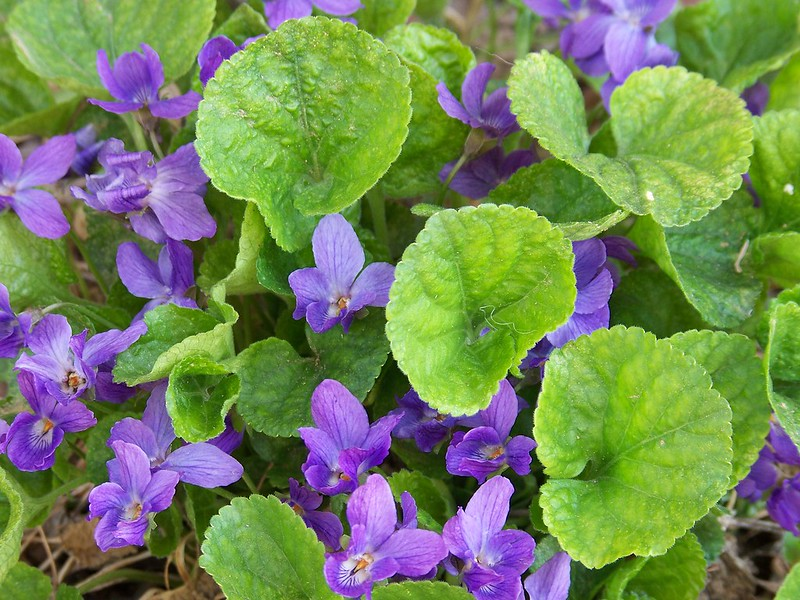 Sweet Violet (Viola Odorata) and Parma Violet: How to Grow Forgotten Treasures