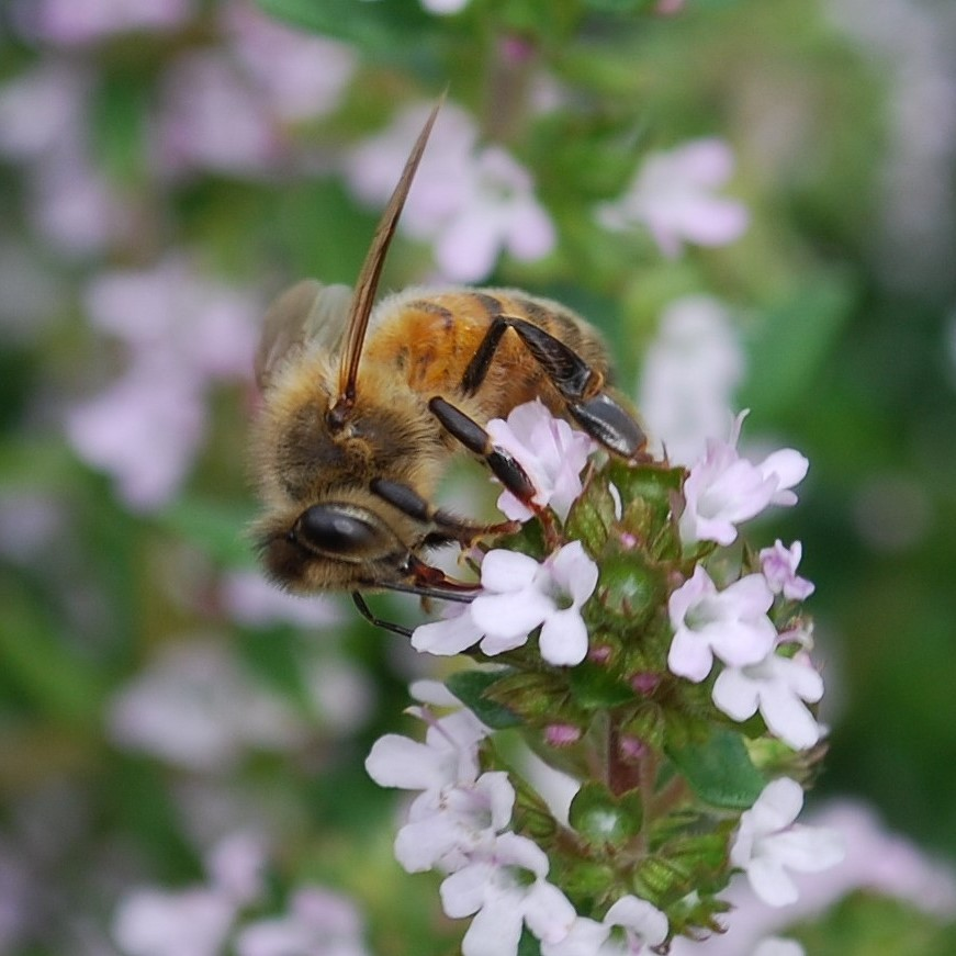 How to Make your Vegetable Garden Bee Friendly
