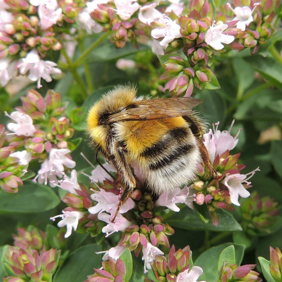 Bumble bee on oregano flowers - How to make your vegetable garden bee friendly.