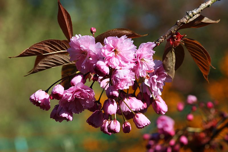How to celebrate cherry blossom season at home