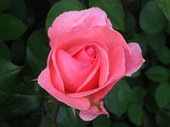 Edible flowers - rose.