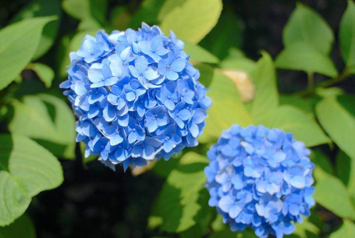 Hydrangea flowers turn blue in acidic soil (soil pH 4-5).